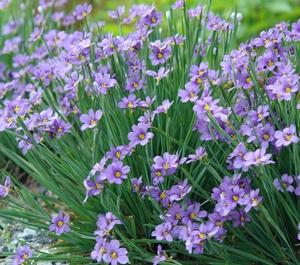 Sisrinchium 'Lucerne' / Blue-Eyed Grass